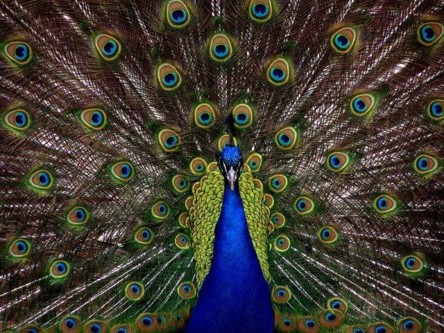 peacock spirit animal